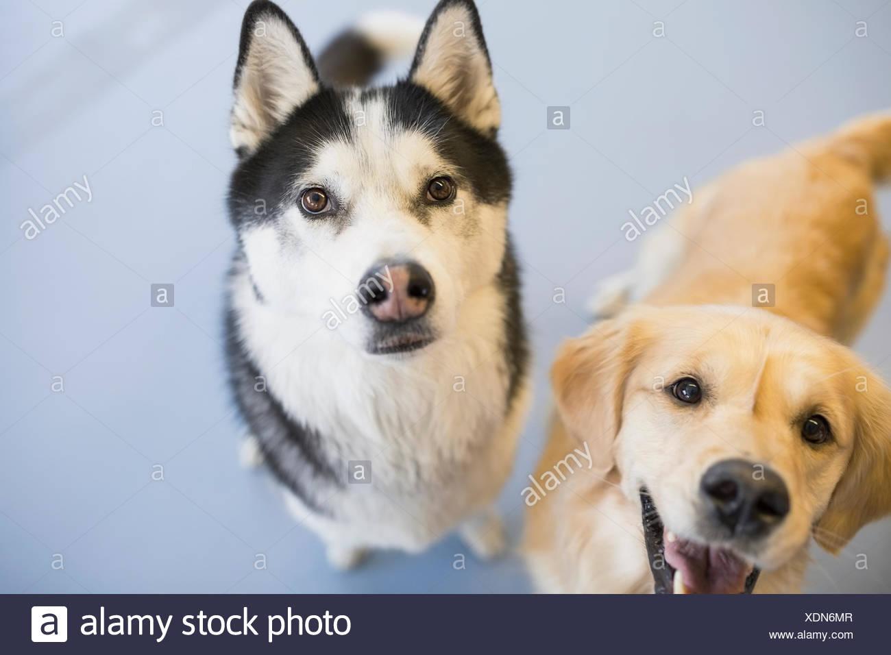 Portrait of Golden Retriever and Siberian Husky - Stock Image