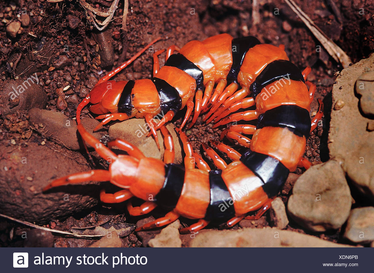 Centipede Stock Photos & Centipede Stock Images - Alamy
