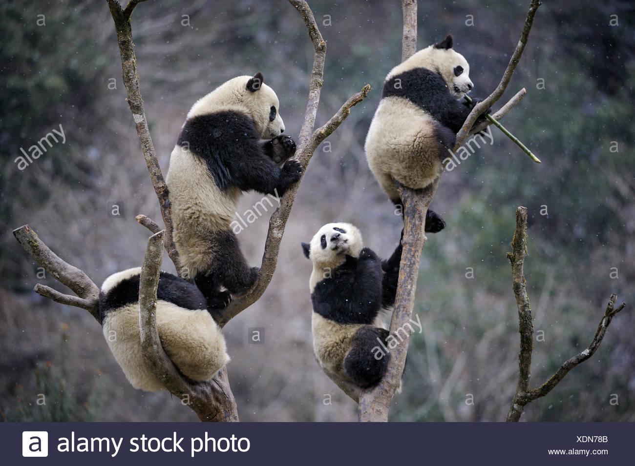 Four subadult Giant pandas (Ailuropoda melanoleuca) climbing in tree. Wolong Nature Reserve, Wenchuan, Sichuan Province, China. - Stock Image