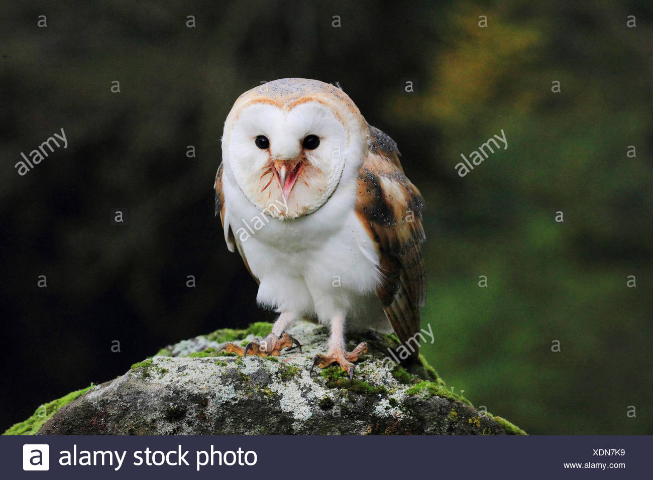 Barn owl (Tyto alba), sitting on a stone, front view, Germany Stock Photo