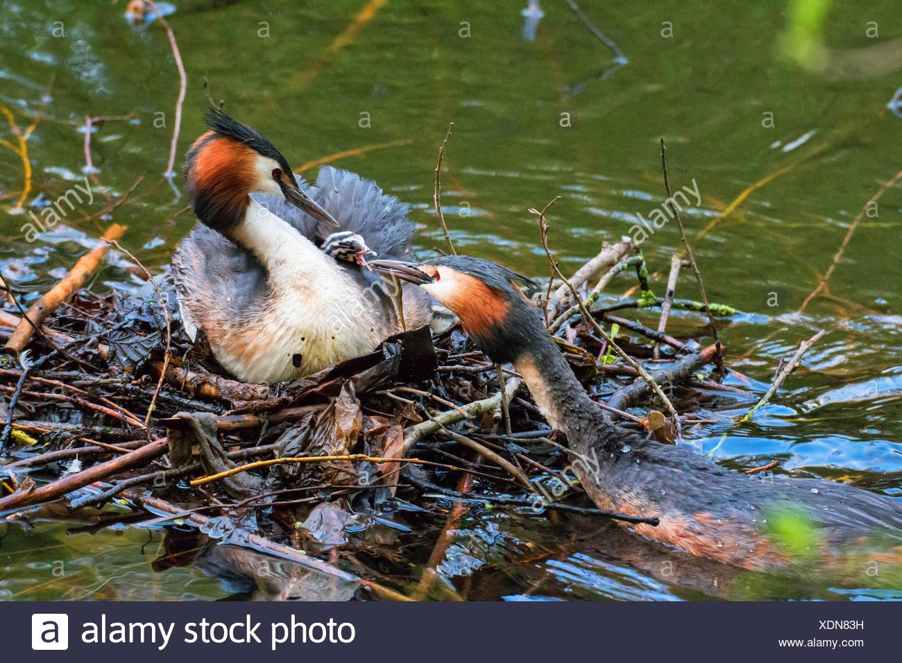 great crested grebe (Podiceps cristatus), great crested gebe family at the nest, Germany - Stock Image