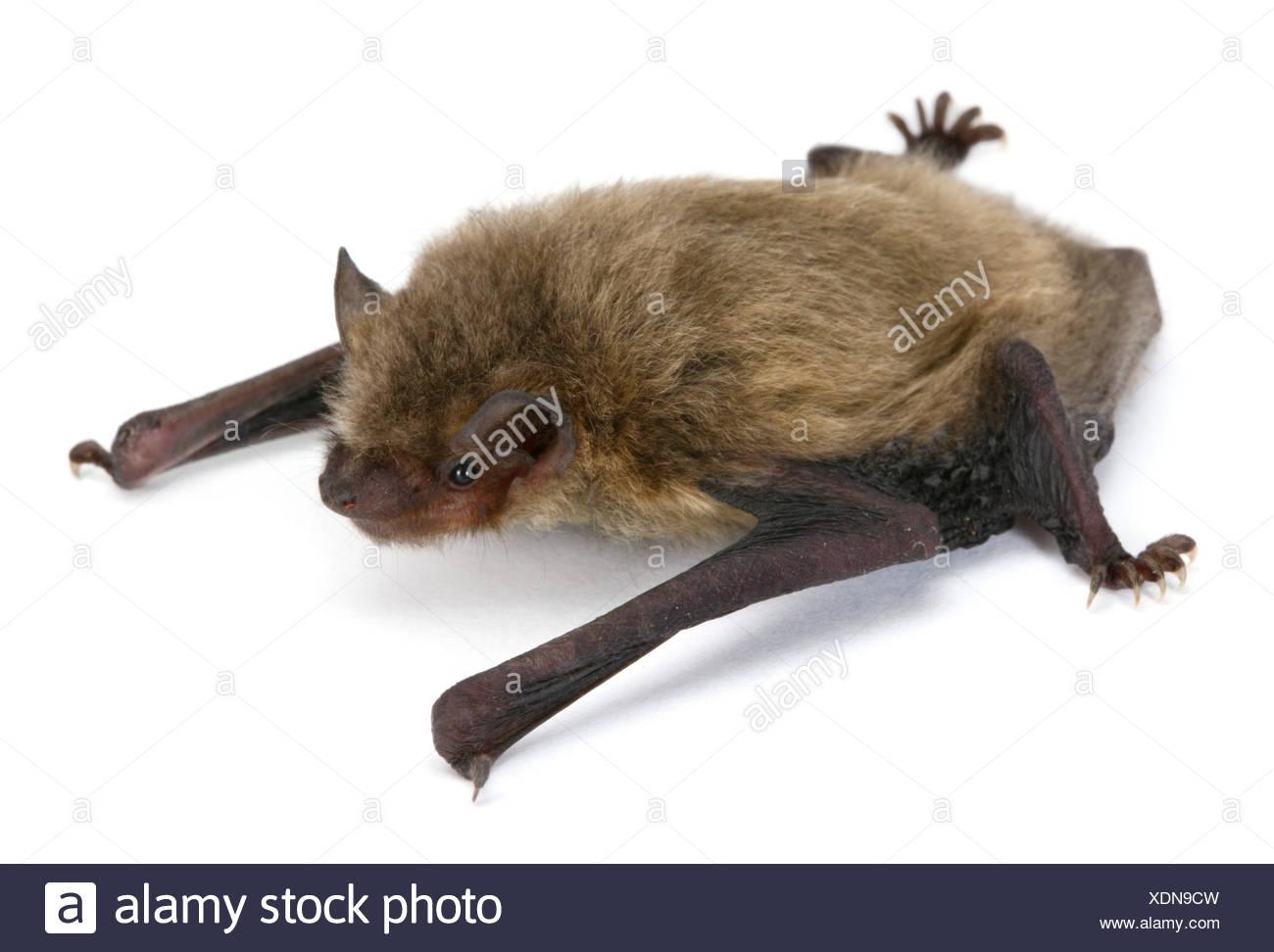 pipistrelle bat uk stock photos pipistrelle bat uk stock images