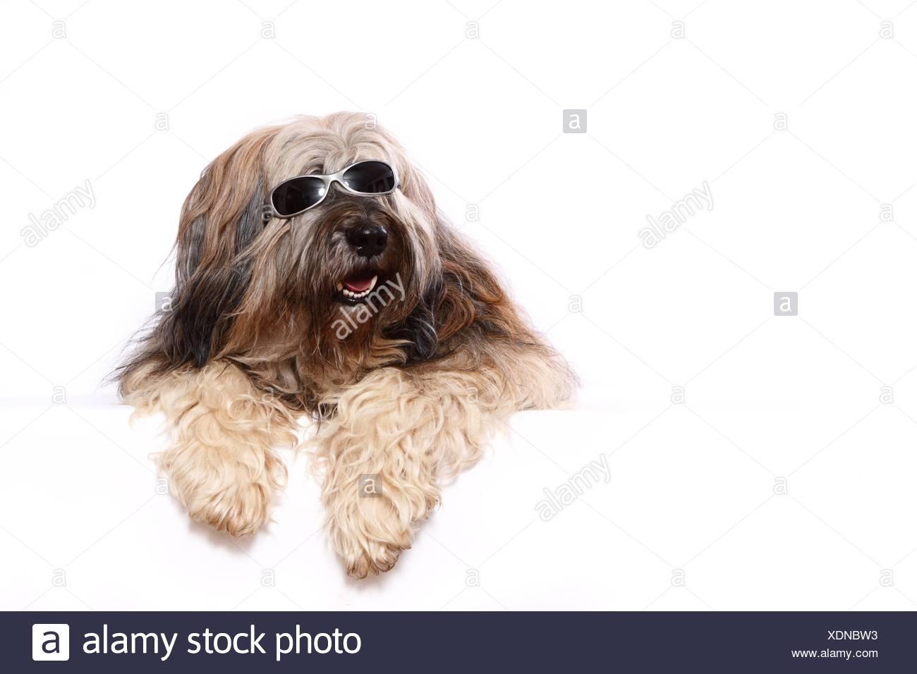 lying Tibetan Terrier - Stock Image