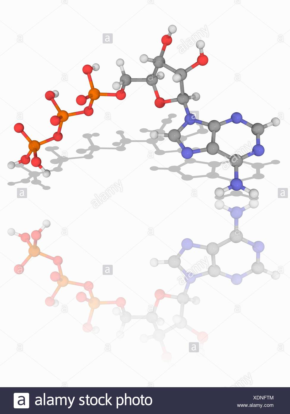 Adenosine triphosphate. Molecular model of the coenzyme adenosine triphosphate (ATP, C10.H16.N5.O13.P3). This molecule is a carrier of metabolic energy in cells. Atoms are represented as spheres and are colour-coded: carbon (grey), hydrogen (white), nitrogen (blue), oxygen (red) and phosphorus (orange). Illustration. Stock Photo