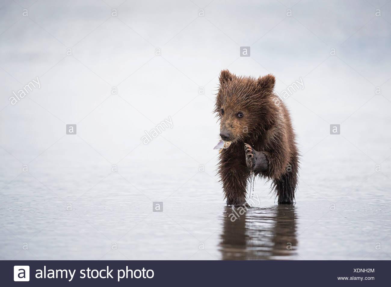 USA, Alaska, Lake Clark National Park and Preserve, Brown bear cub (Ursus arctos) eating a mussel - Stock Image