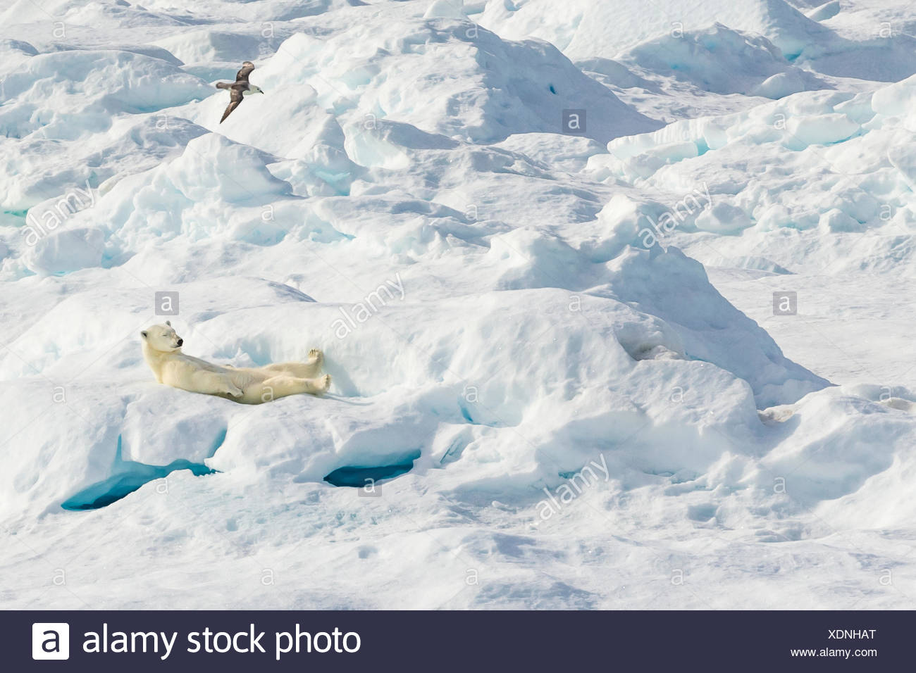 A laid back polar bear (Ursus maritimus) resting on an ice floe in the Canadian Arctic. Stock Photo