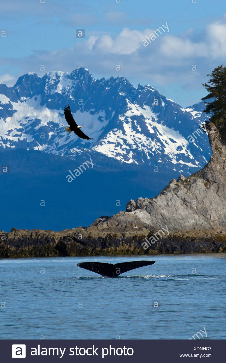COMPOSITE: scenic view of Lynn Canal at Lion's Head with a Humpback fluke in the foreground and a Bald Eagle overhead, Alaska - Stock Image