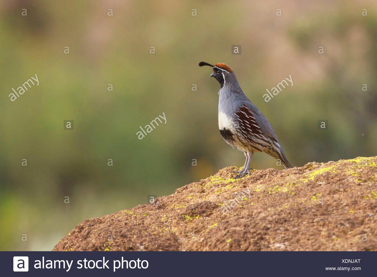 Gambel's quail (Callipepla gambelii, Lophortyx gambelii), male, USA, Arizona, Phoenix - Stock Image