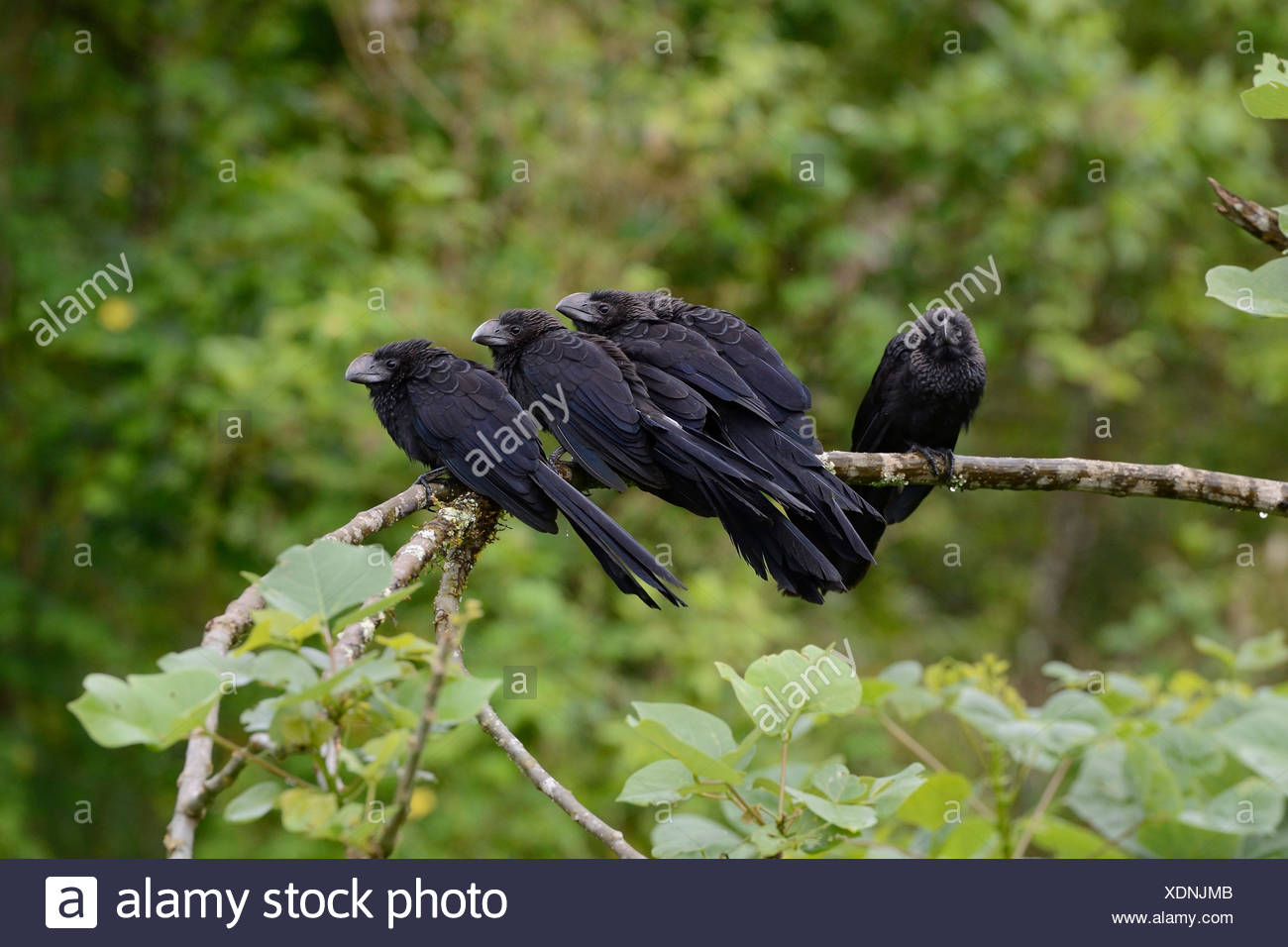 Glattschnabelani, Glattschnabel-Ani, Ani (Crotophaga ani), Gruppe sitzt auf einem Ast, Ecuador, Galapagos-Inseln, Santa Cruz | s - Stock Image