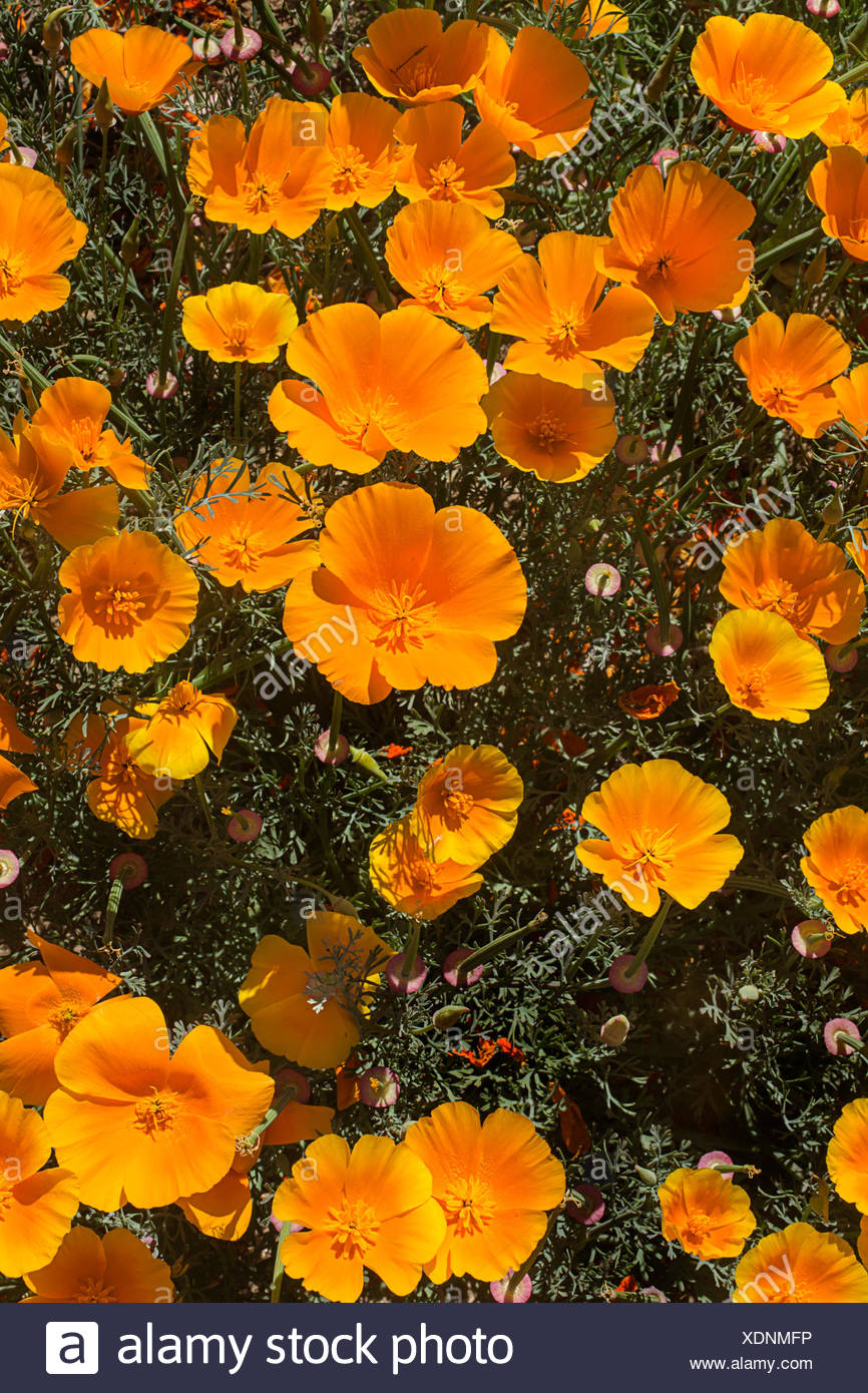 Heavy precipitation in the rainy season results in a spectacular poppy field. - Stock Image