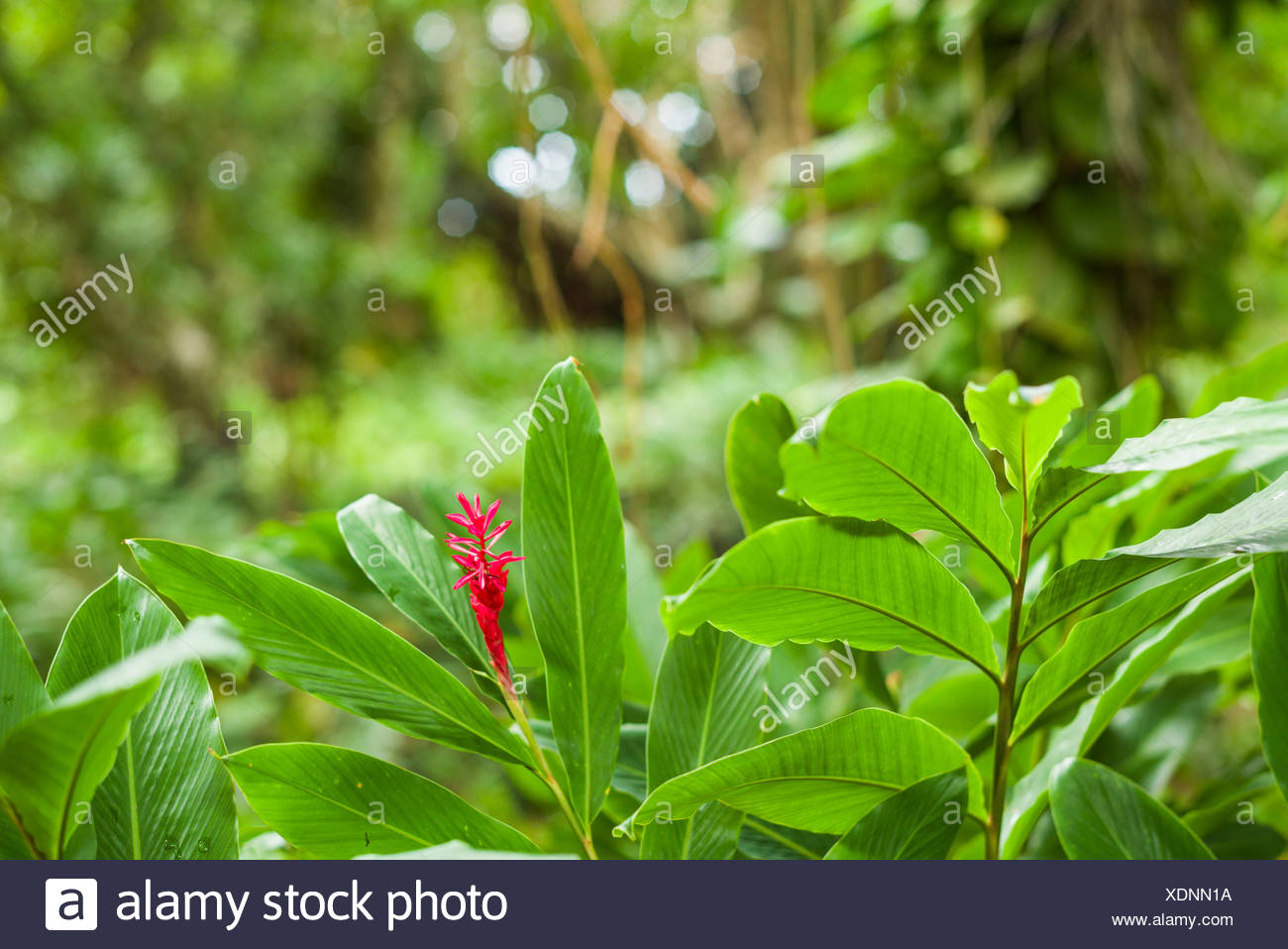 St. Kitts and Nevis, St. Kitts, Molineux, heliconia - Stock Image
