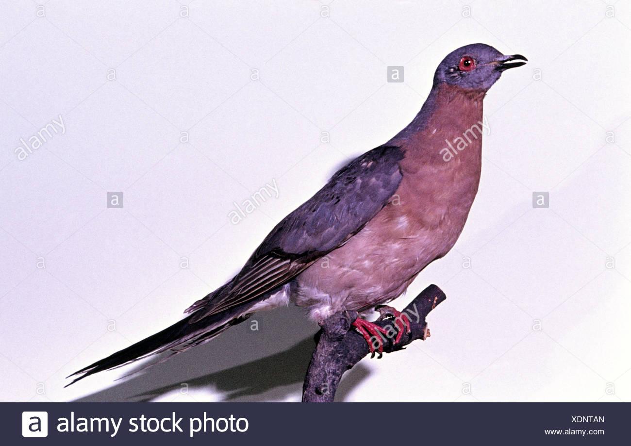 passenger pigeon (Ectopistes migratoria), extinct bird species - Stock Image