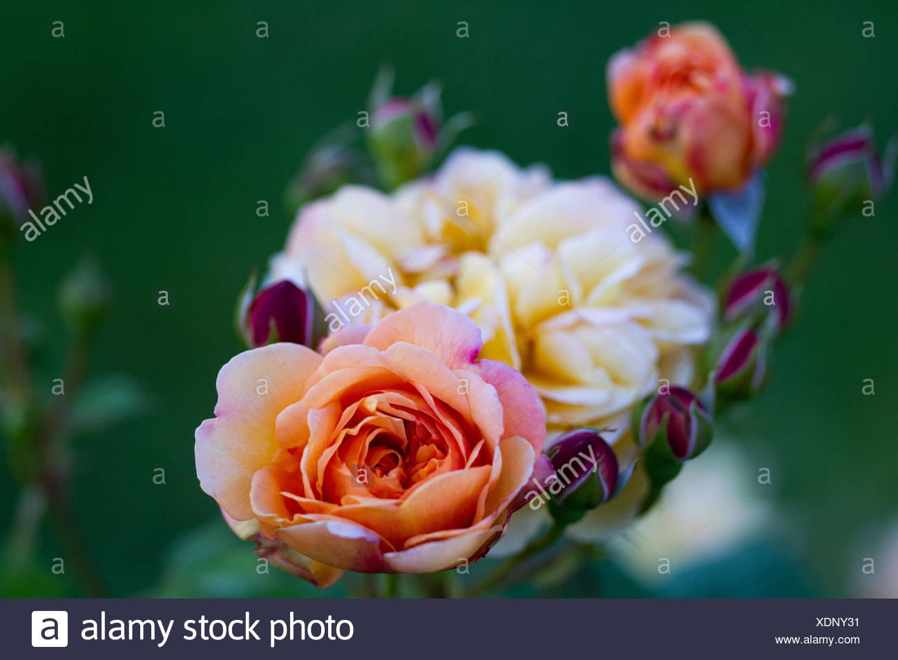 Roses of Bagatelle Stock Photo
