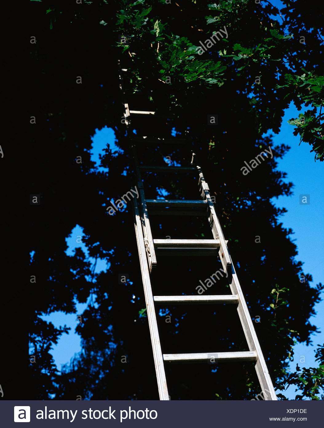 Ladders in a tre Sweden - Stock Image