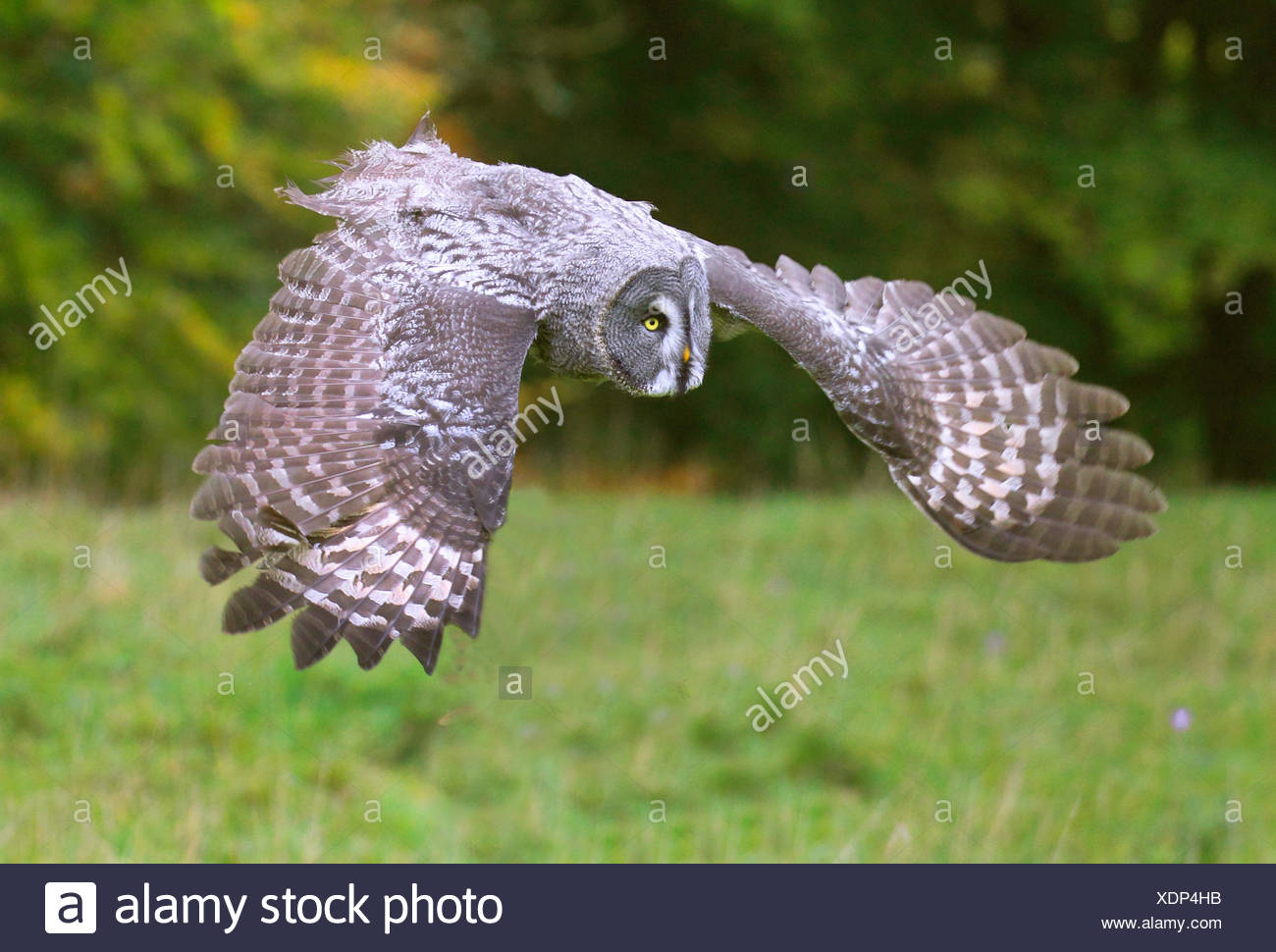great grey owl (Strix nebulosa), approach to the lookout - Stock Image