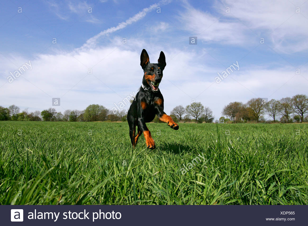 Running doberman pinscher - doberman - male - domestic dog - Stock Image