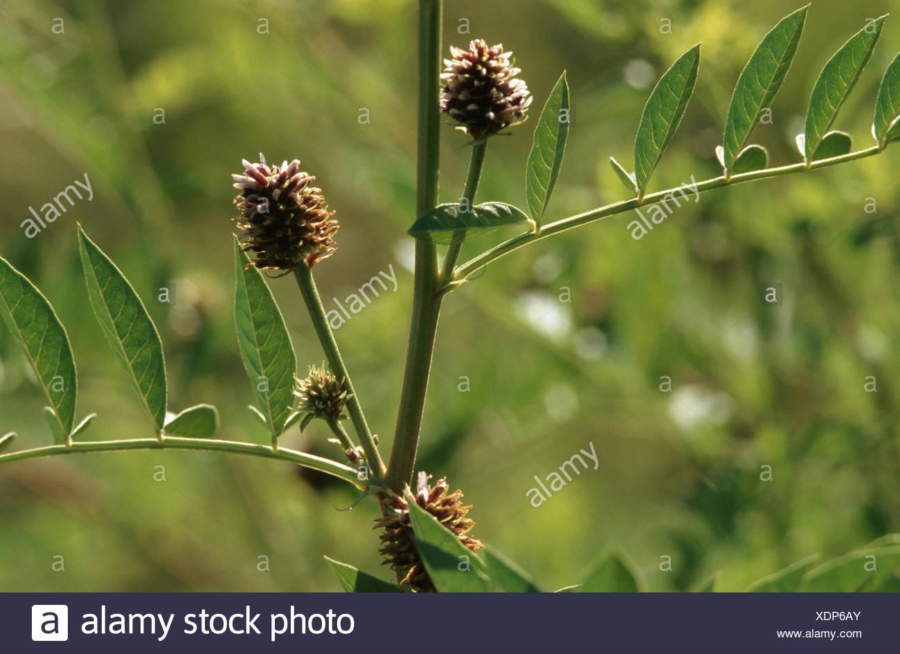 Russian licorice (Glycyrrhiza echinata), blooming Stock Photo