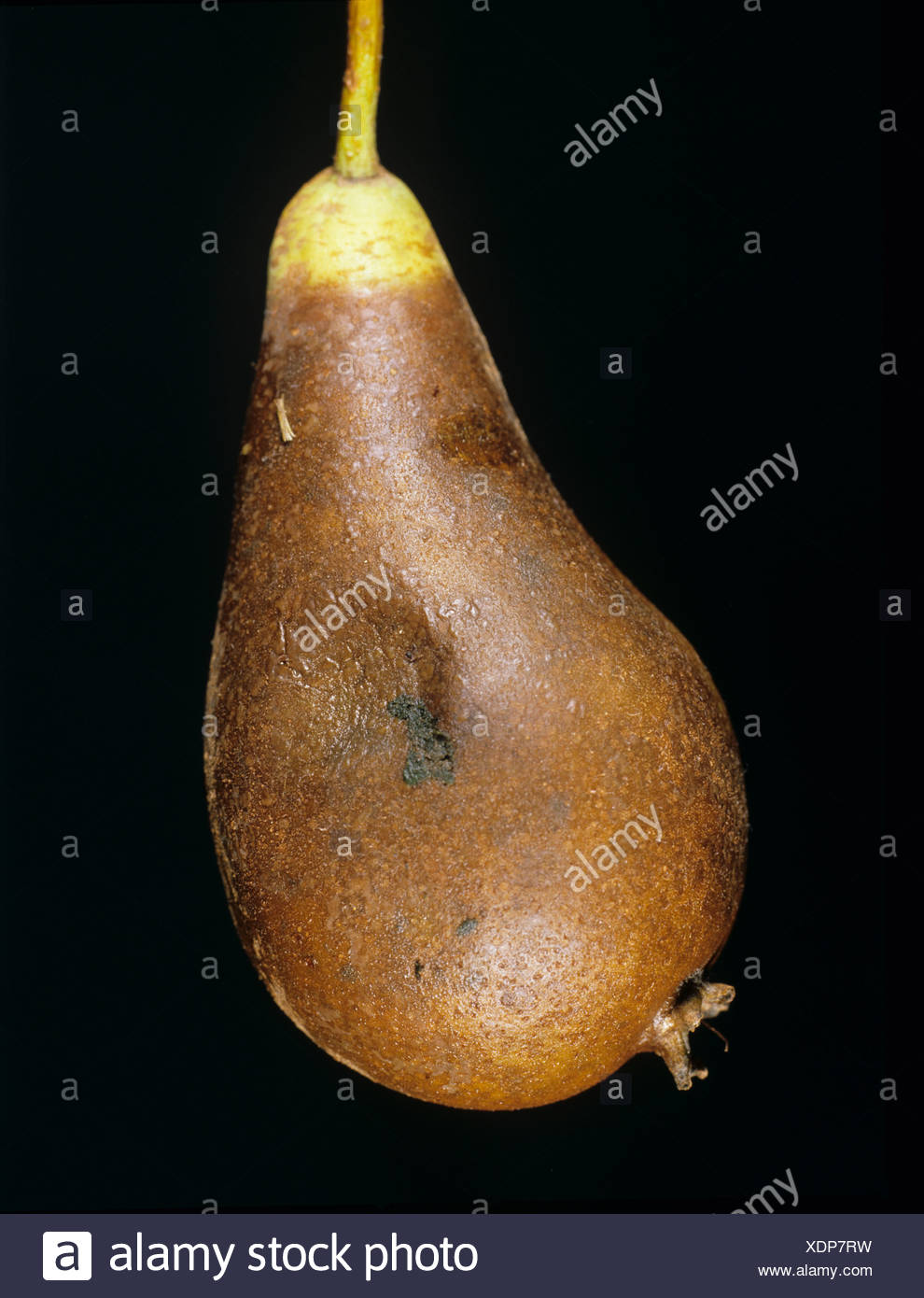Pear fruit with fruit rot caused by Phytophthora syringae - Stock Image