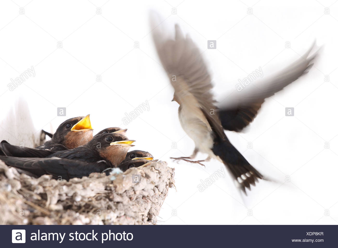 hungry nestlings - Stock Image