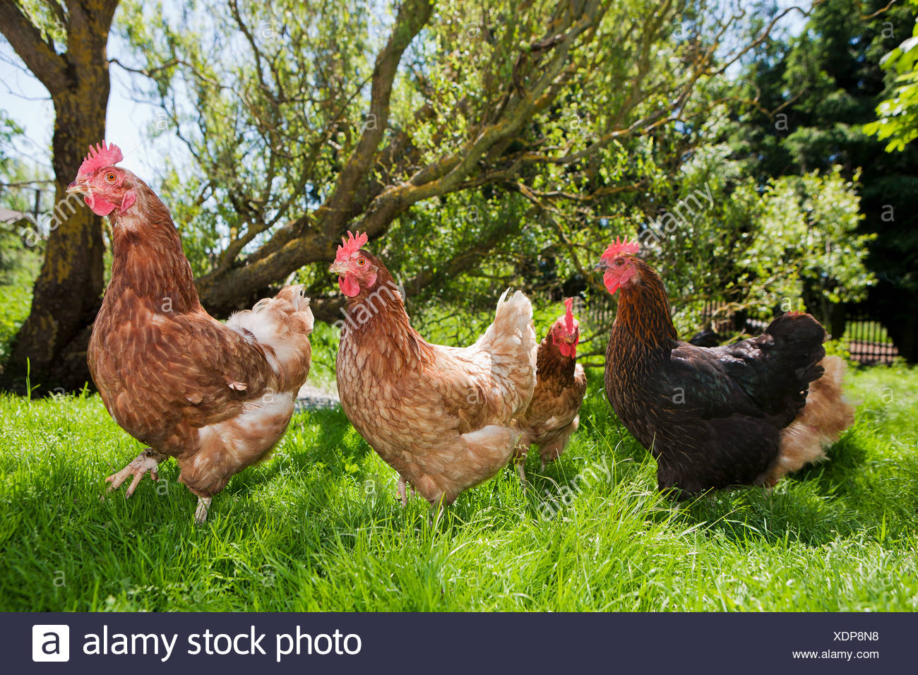 Hens on grass - Stock Image