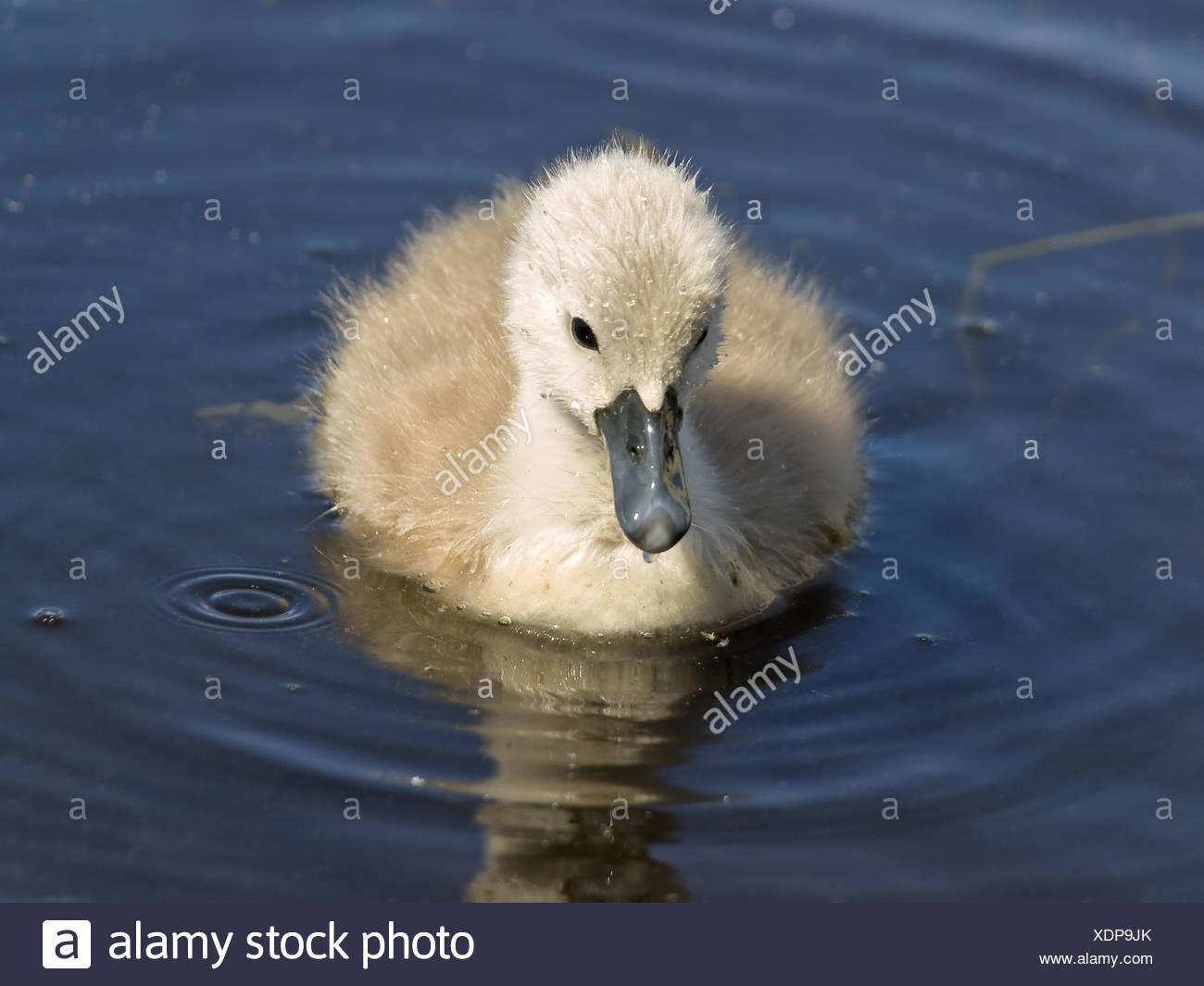 baby swan Stock Photo