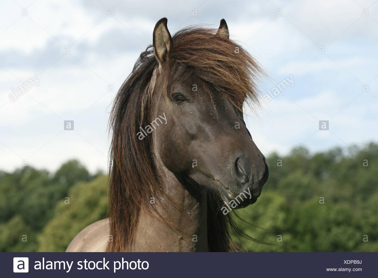 Icelandic horse stallion - Stock Image