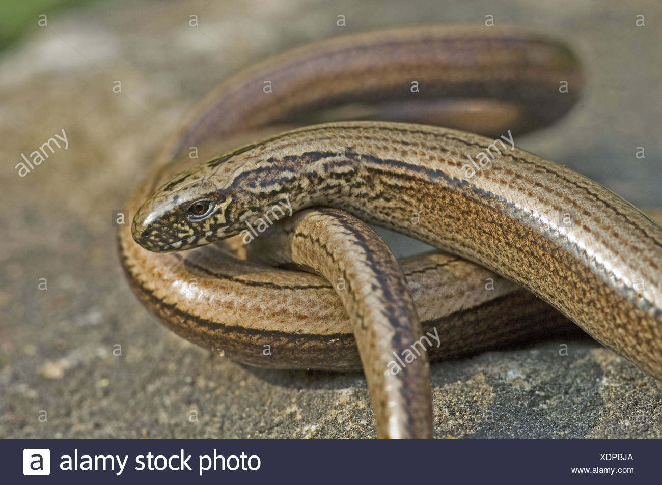 "reptile reptiles lizard lizards animal animals asia asian europe european eurasia eurasian ""legless lizard"" ""legless lizards"" Stock Photo"