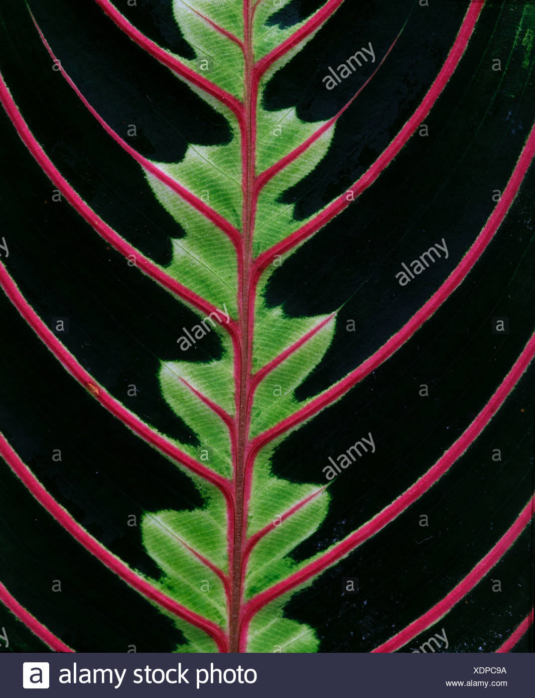 Maranta leaf detail Calathea spec Stock Photo