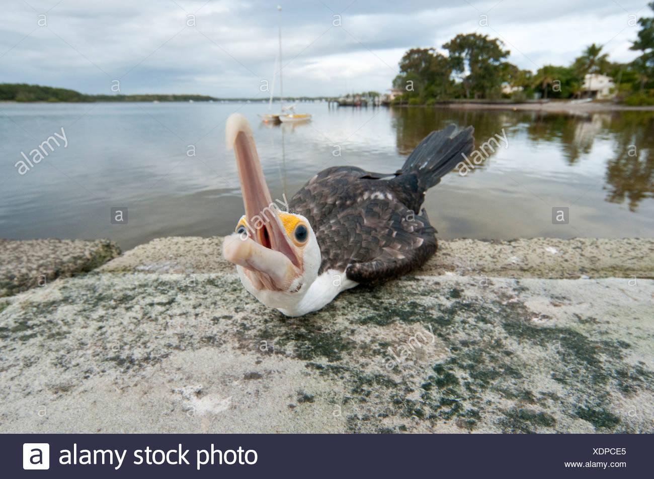 Pied Cormorant, Pied Shag (Phalacrocorax varius), begging, Australia, Queensland, Tin Can Bay - Stock Image