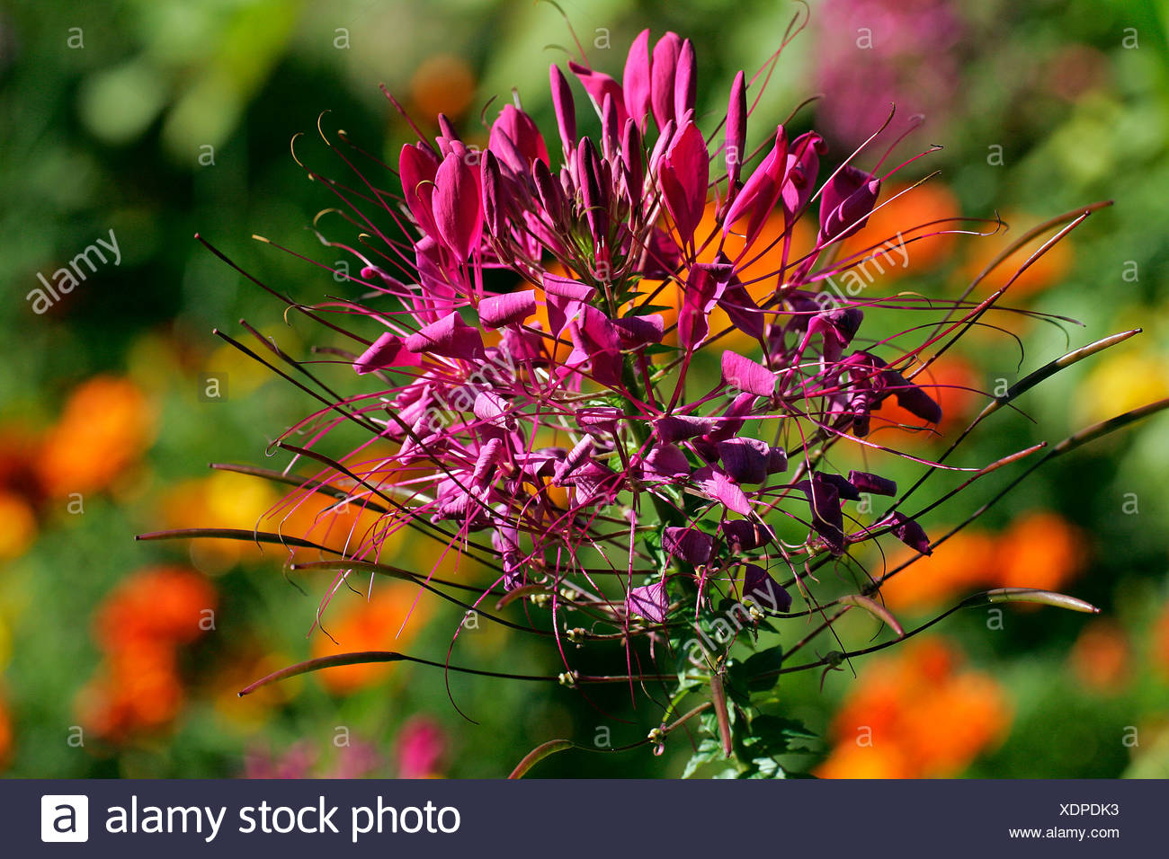Flowering spider flower (Cleome spinosa) Stock Photo