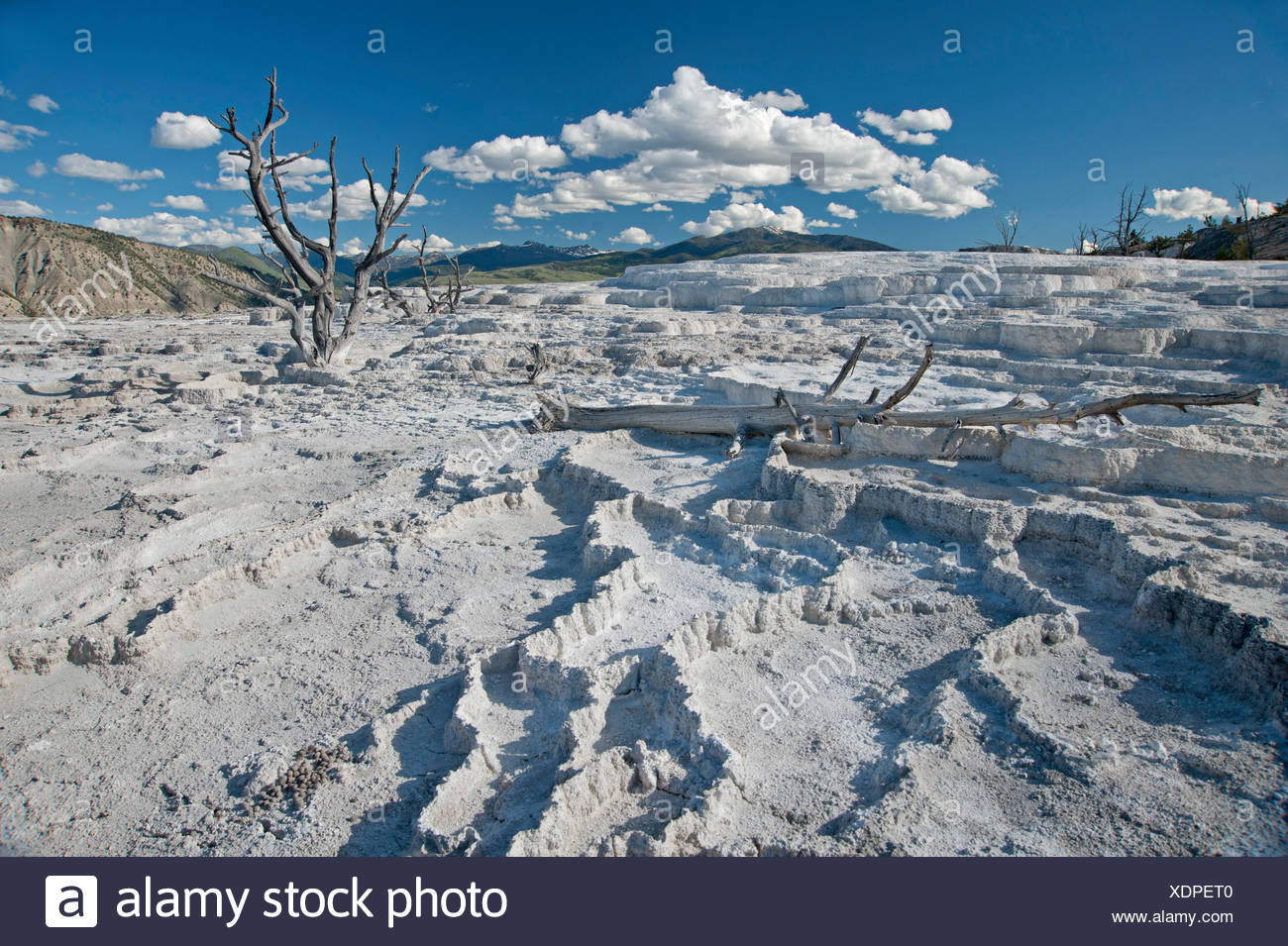 Trees killed by shifting hot water stand amidst mineral deposits. - Stock Image