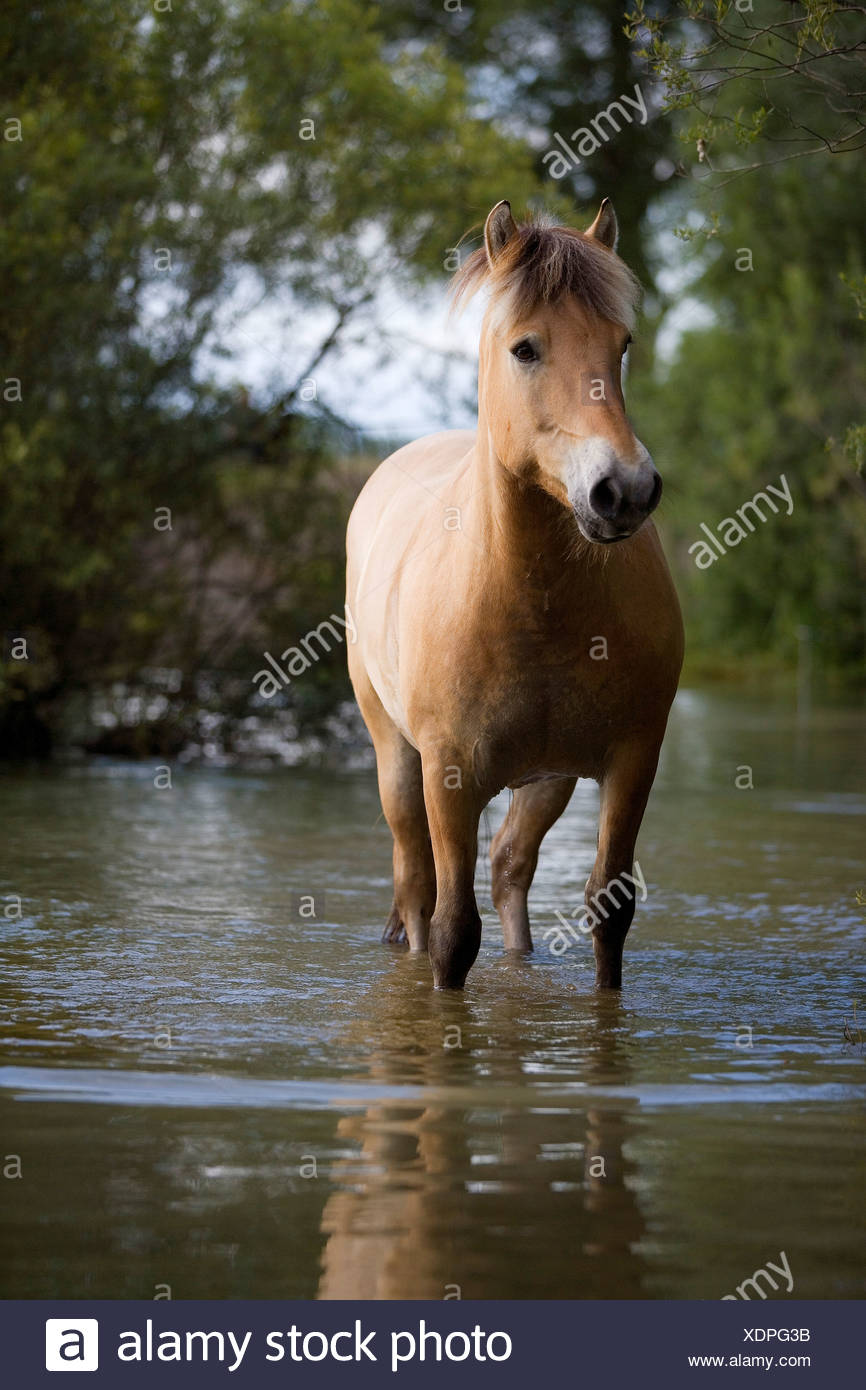 brown horse standing in water - Stock Image