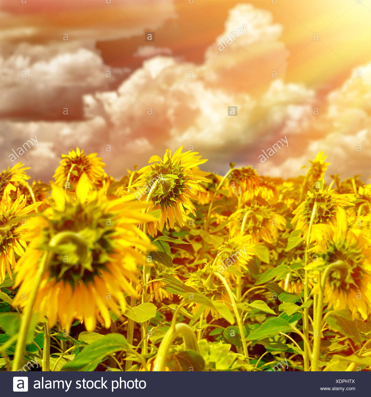 Blooming Big Beautiful Sunflowers On Stock Photos Blooming Big