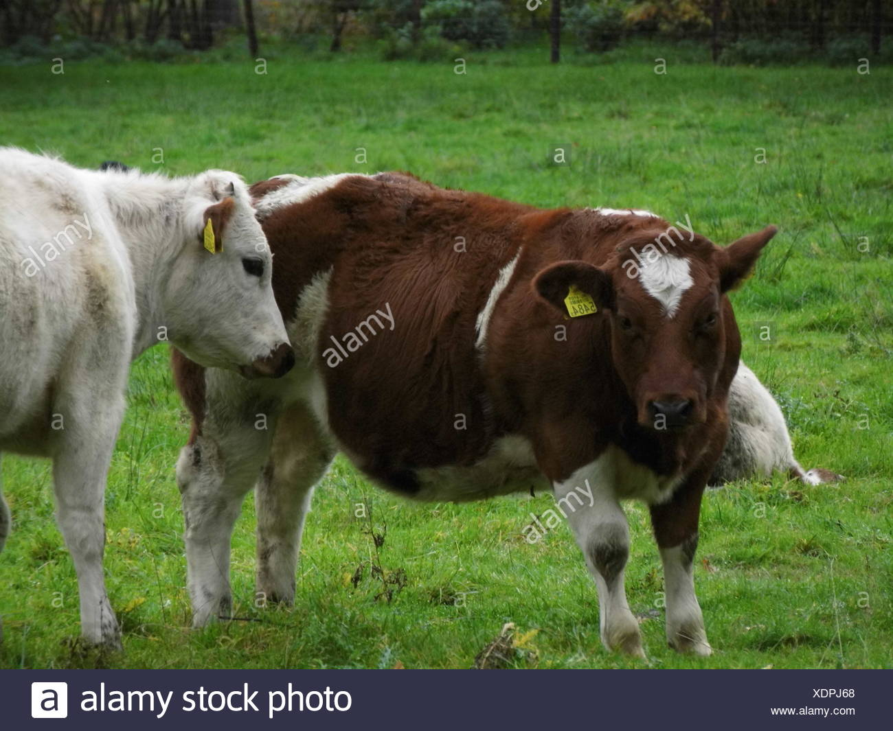 Cows On Grass Area - Stock Image