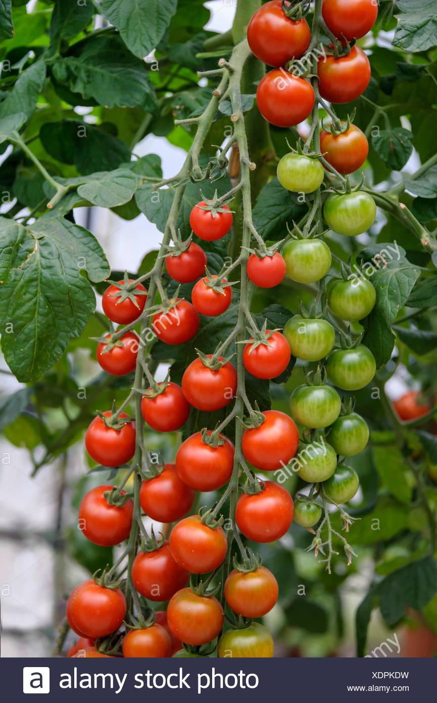 garden tomato (Solanum lycopersicum 'Picolino', Solanum lycopersicum Picolino, Lycopersicon esculentum), plant with mature and immature tomatoes, cultivar Picolino, Germany, Saxony - Stock Image