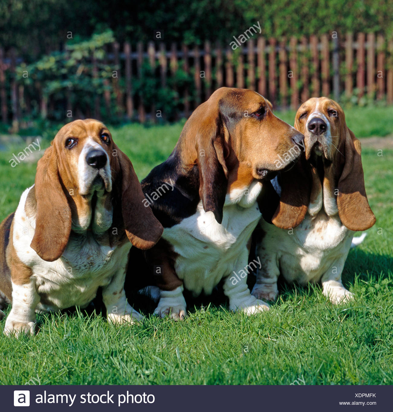 Three bassets Hounds, French hounds with big floppy ears, - Stock Image