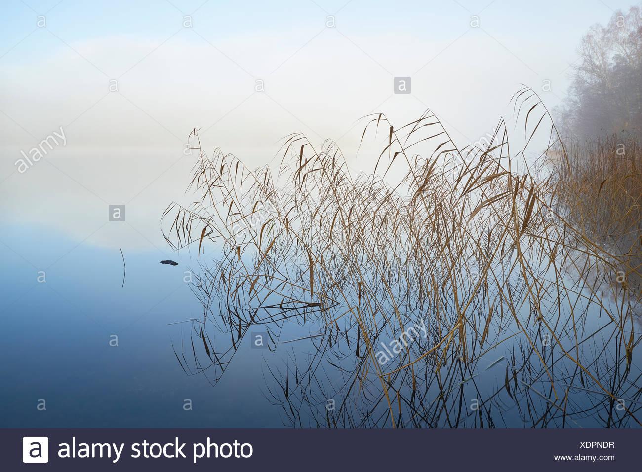 Sweden, Sodermanland, Bornsjon, Reed protruding from water - Stock Image