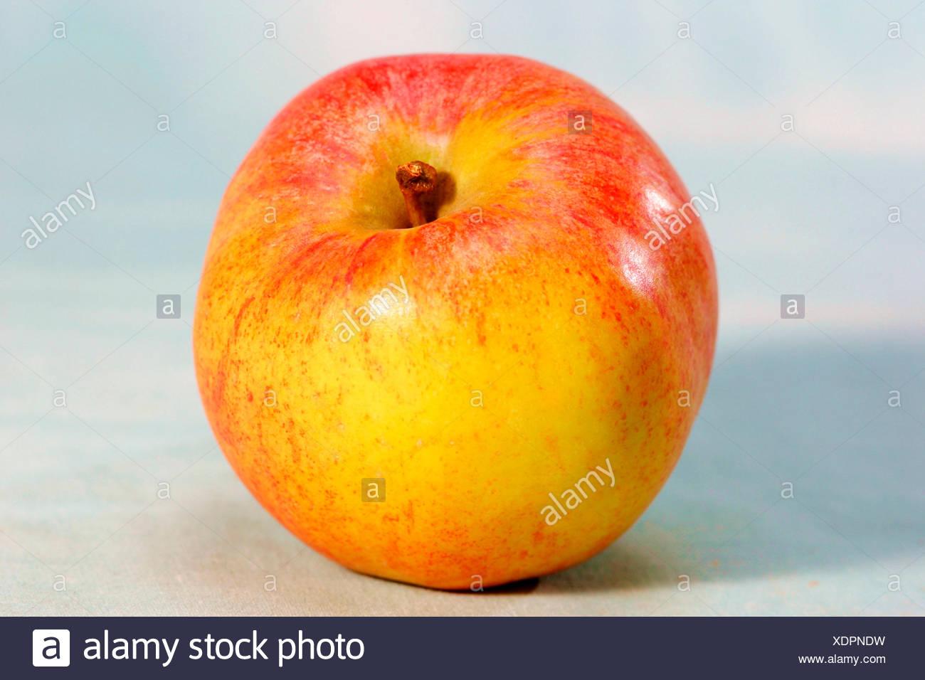 apple (Malus domestica), Apple sort Westfaelischer Gulderling - Stock Image