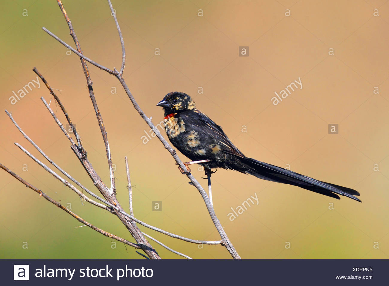 red-collared whydah (Euplectes ardens), male sits on a shrub, South Africa, North-West Province, Kgaswane Mountain Reserve - Stock Image