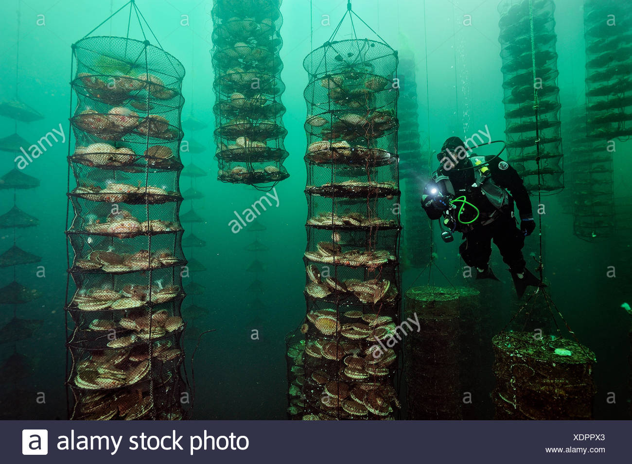 Giant Japanese scallops thrive on fish waste at an experimental farm off Canada's Vancouver Island. - Stock Image