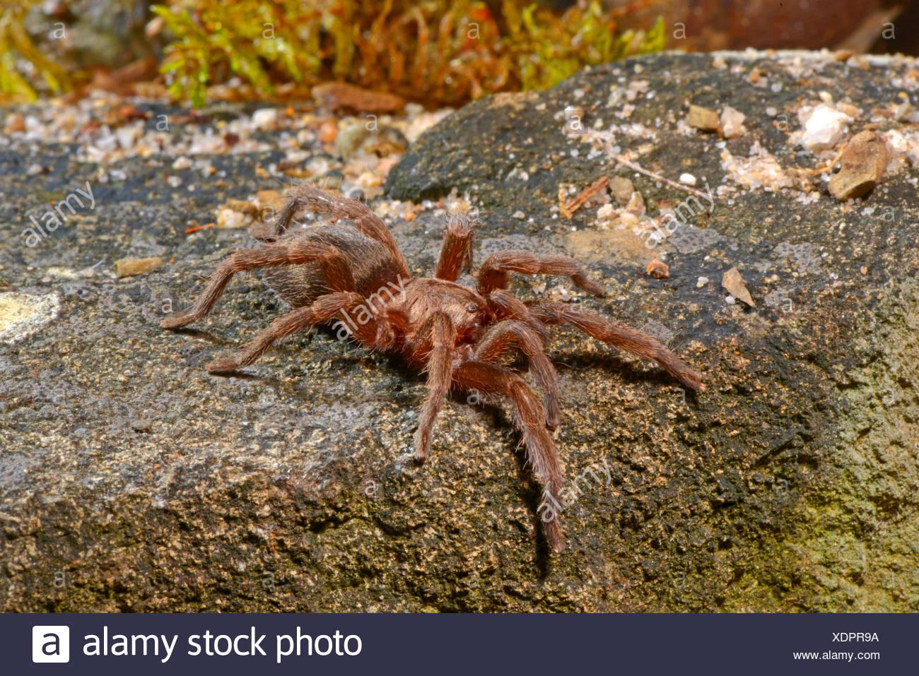 bird spider (Catumiri argentinense  ), in terrarium, Chile - Stock Image