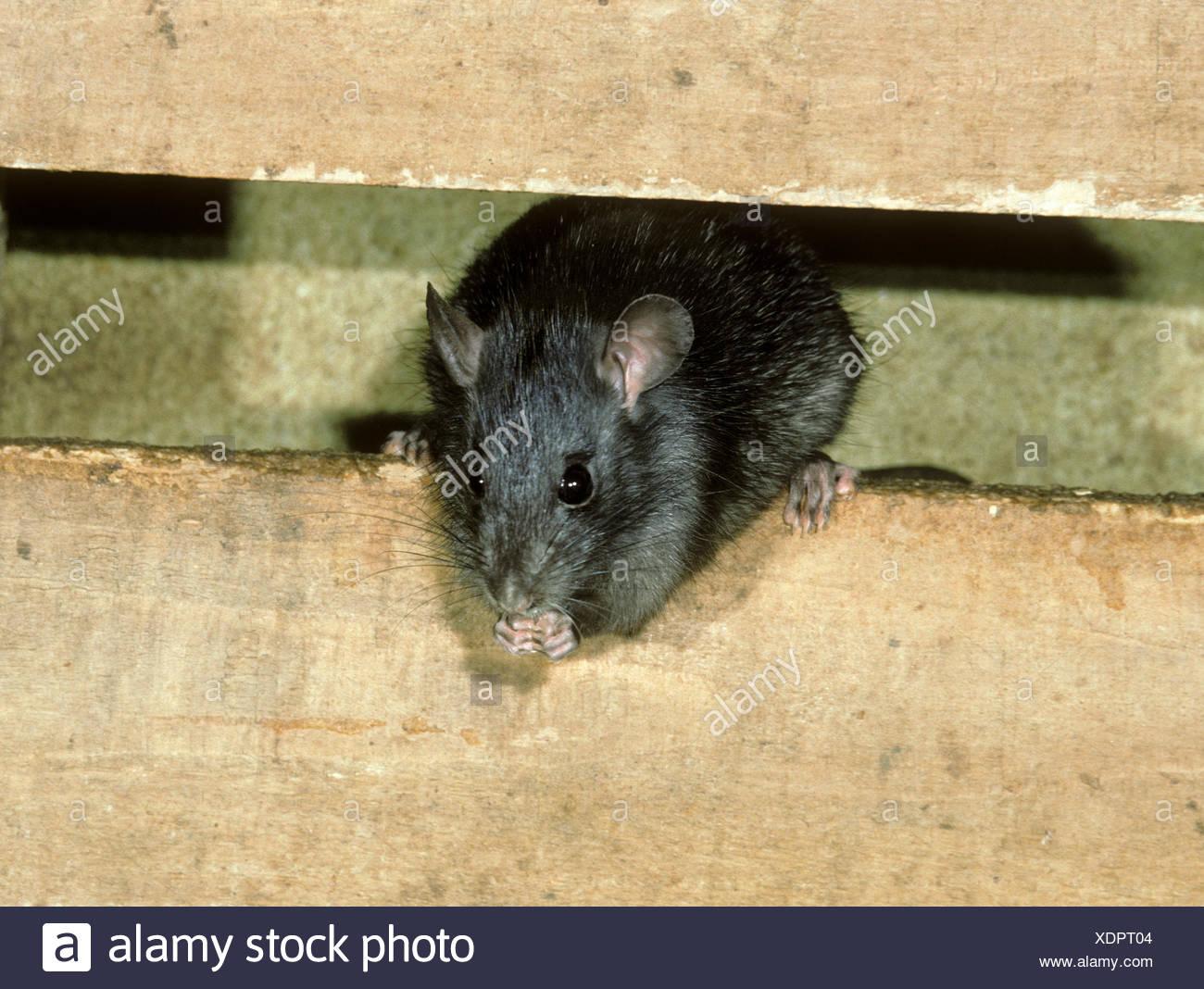 Black Rat - Rattus rattus - Stock Image