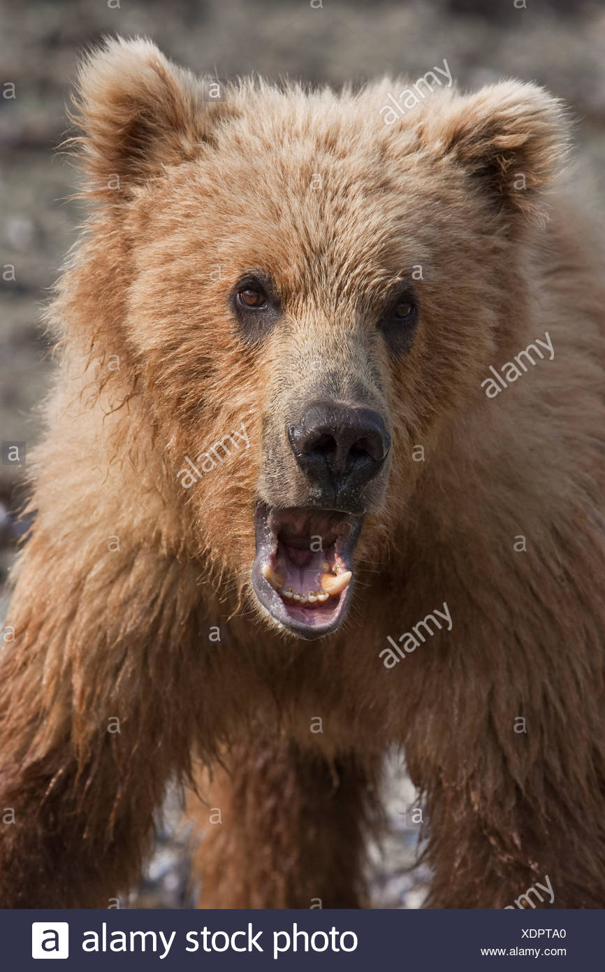 Close up of a young brown bear at Geographic Harbor in Katmai National Park, Southwest Alaska, Summer - Stock Image