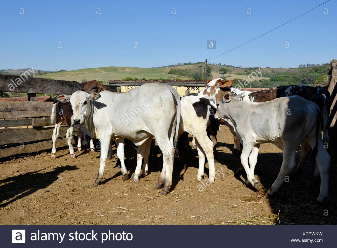 Bristle Cattle Stock Photos & Bristle Cattle Stock Images