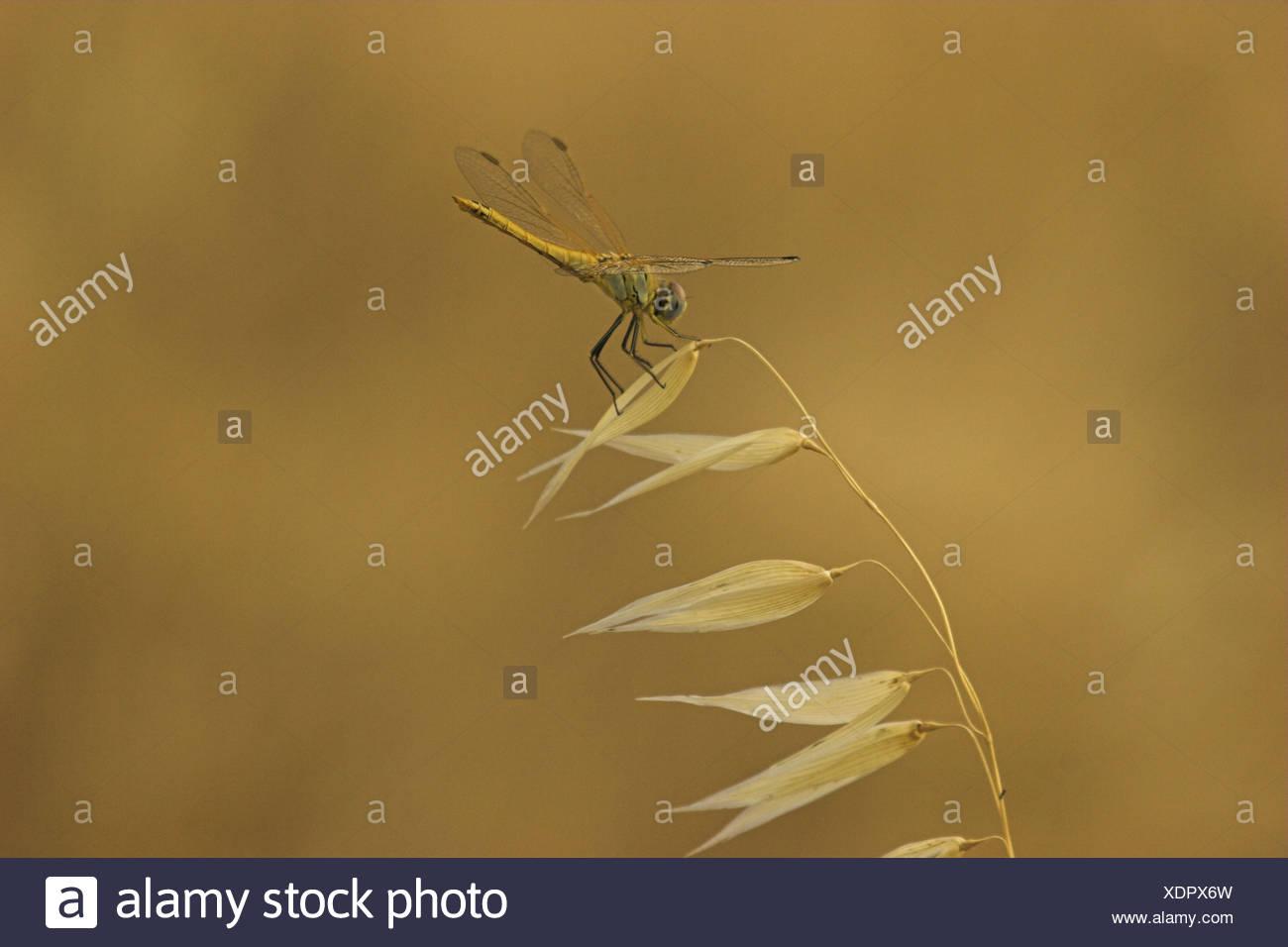 scarlet darter (Crocothemis erythraea), on wild oat (Avena fatua), France, Provence Stock Photo