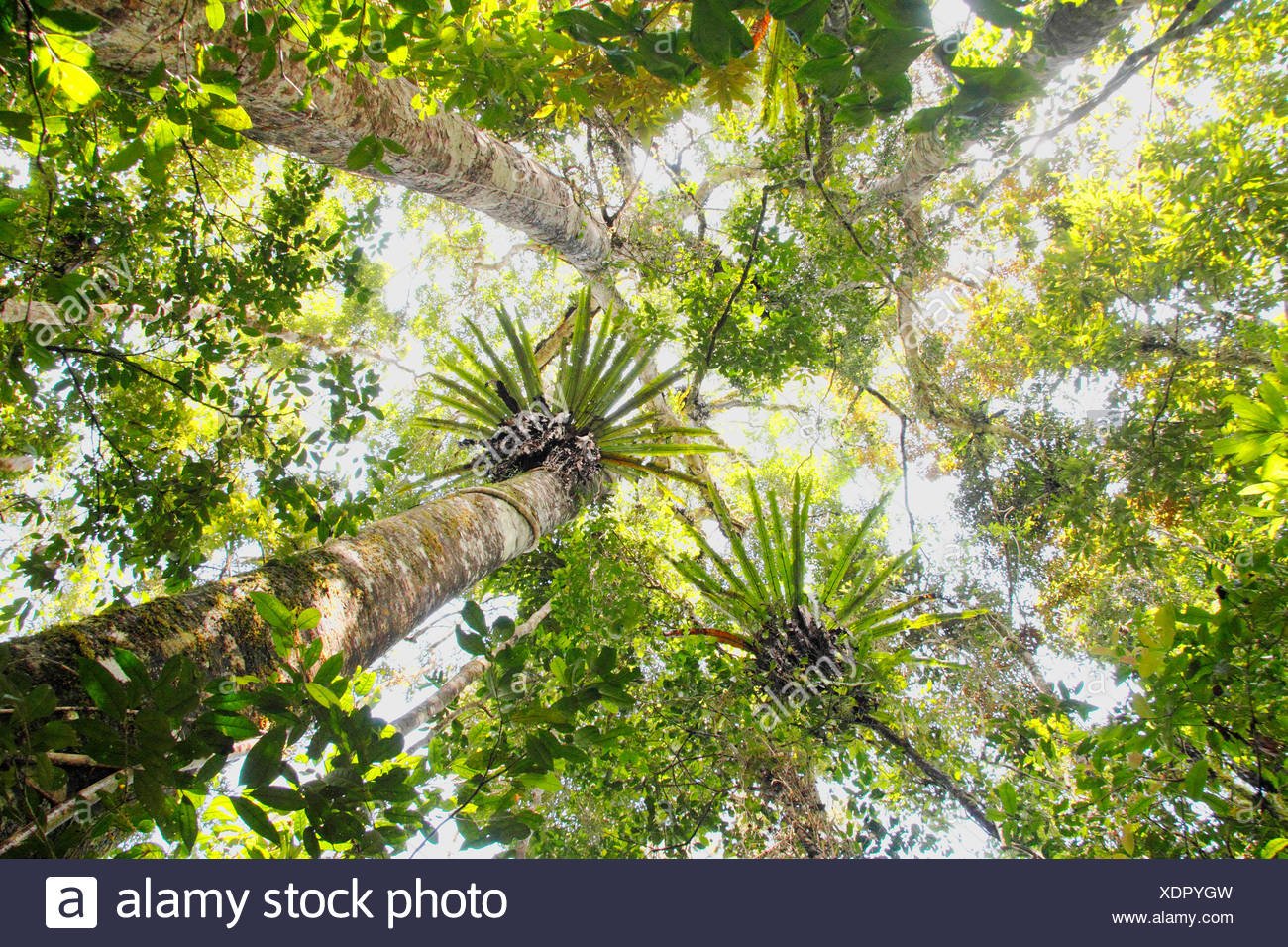 view to the treetops of the topical rainforest, Madagascar, Mantadia Andasibe National Park - Stock Image