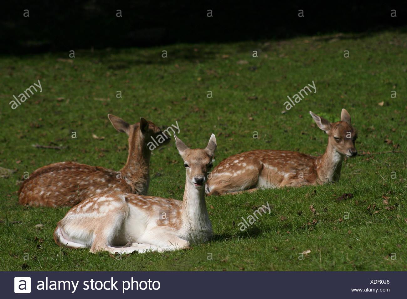 deer trio - Stock Image