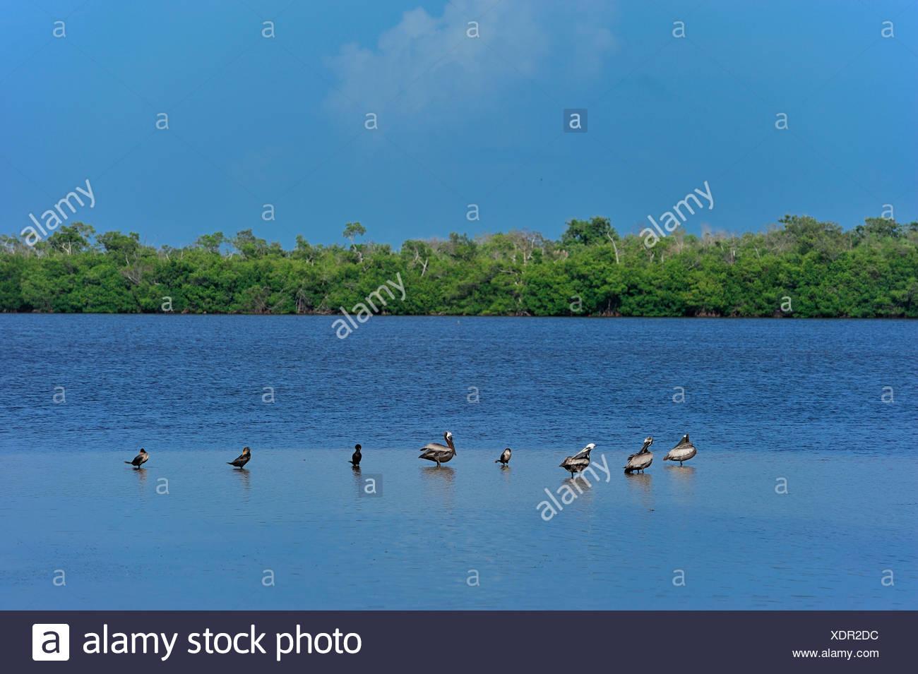 Ducks, J. N. Ding Darling, National Wildlife Refuge, water, trees - Stock Image