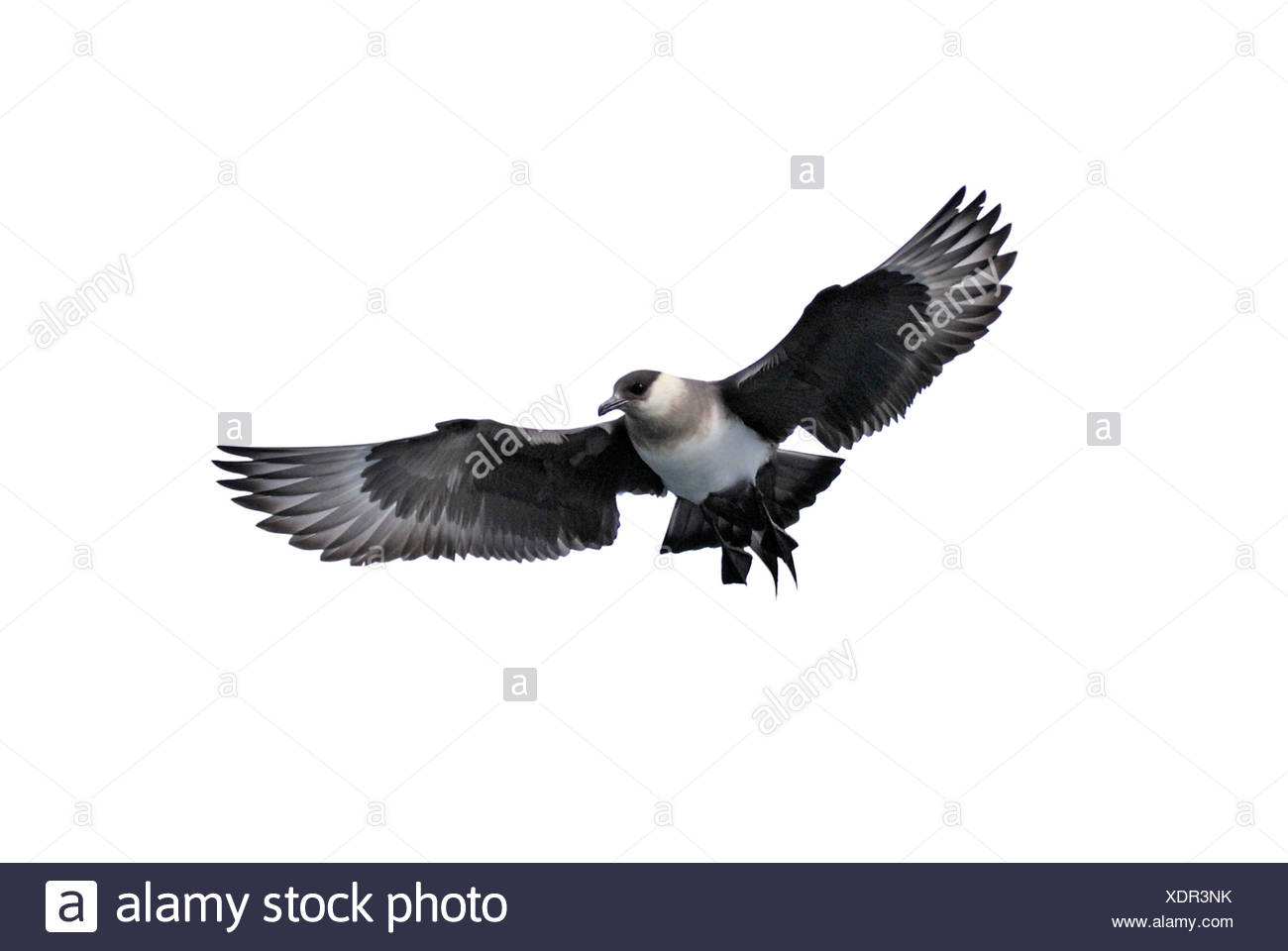 Arctic Skua Stercorarius parasiticus Stock Photo