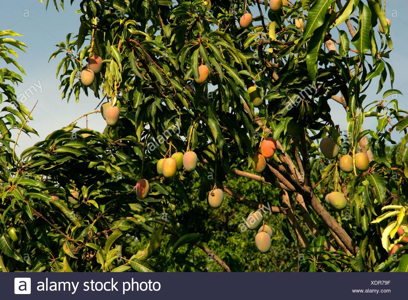 Indian fruits ; Mango ; raw mangoes called 'kesar' hanging on tree ; Wai ; Maharashtra ; India - Stock Image